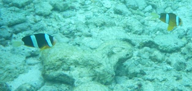 沖縄の海で見たカクレクマノミ